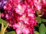 Rhododendron 'Berlinale', 25-30 cm, Rhododendron Hybride 'Berlinale', Containerware