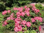 Rhododendron 'Berliner Liebe', 20-25 cm, Rhododendron Hybride 'Berliner Liebe', Containerware