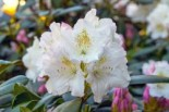 Rhododendron 'Blankenese', 20-25 cm, Rhododendron yakushimanum 'Blankenese', Containerware