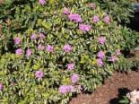 Rhododendron 'Blattgold', 30-40 cm, Rhododendron Hybride 'Blattgold', Containerware