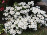 Rhododendron 'Blewbury', 20-25 cm, Rhododendron roxieanum 'Blewbury', Containerware