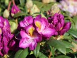 Rhododendron 'Bluebell', 40-50 cm, Rhododendron Hybride 'Bluebell', Containerware