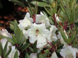 Rhododendron 'Blueshine Girl', 30-40 cm, Rhododendron Hybride 'Blueshine Girl', Containerware