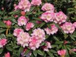 Rhododendron 'Brigitte', 30-40 cm, Rhododendron Hybride 'Brigitte', Containerware