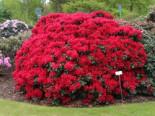 Rhododendron 'Buketta', 20-25 cm, Rhododendron repens 'Buketta', Containerware