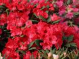 Rhododendron 'Burletta', 25-30 cm, Rhododendron neriiflorum 'Burletta', Containerware