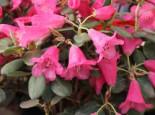 Rhododendron callimorphum, 30-40 cm, Containerware