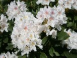 Rhododendron 'Cunningham's White', 30-40 cm, Rhododendron Hybride 'Cunningham's White', Containerware