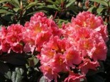 Rhododendron 'Dolcemente', 30-40 cm, Rhododendron Hybride 'Dolcemente', Containerware