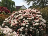 Rhododendron 'Edelweiß', 20-25 cm, Rhododendron yakushimanum 'Edelweiß', Containerware