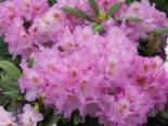 Rhododendron 'Ernest Inman', 25-30 cm, Rhododendron yakushimanum 'Ernest Iman', Containerware