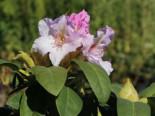 Rhododendron 'Eskimo', 30-40 cm, Rhododendron Hybride 'Eskimo', Containerware