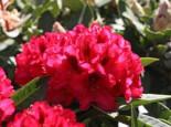 Rhododendron 'Europa 93', 30-40 cm, Rhododendron Hybride 'Europa 93', Containerware