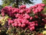 Rhododendron 'Fantastica', 30-40 cm, Rhododendron yakushimanum 'Fantastica', Containerware