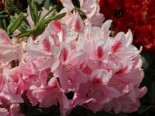 Rhododendron 'Furnivall's Daughter', 30-40 cm, Rhododendron Hybride 'Furnivall's Daughter', Containerware