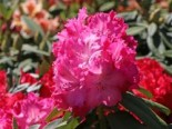 Rhododendron 'Germania', 30-40 cm, Rhododendron Hybride 'Germania', Containerware