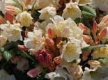 Rhododendron 'Golden Melodie', 30-40 cm, Rhododendron yakushimanum 'Golden Melodie', Containerware