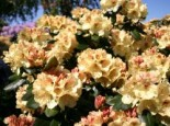 Rhododendron 'Goldprinz', 25-30 cm, Rhododendron yakushimanum 'Goldprinz', Containerware