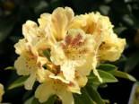 Rhododendron 'Goldsprenkel', 25-30 cm, Rhododendron wardii 'Goldsprenkel', Containerware