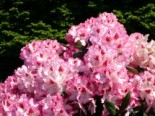 Rhododendron 'Hachmann's Charmant' ®, 25-30 cm, Rhododendron Hybride 'Hachmann's Charmant' ®, Containerware