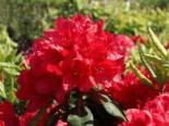 Rhododendron 'Hachmann's Feuerschein' (S), 25-30 cm, Rhododendron Hybride 'Hachmann's Feuerschein' (S), Containerware