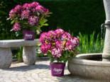 Rhododendron Happydendron ® 'Pushy Purple ®', 30-40 cm, Rhododendron Hybride Happydendron ® 'Pushy Purple ®', Containerware