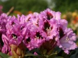 Rhododendron 'Kabarett' ®, 40-50 cm, Rhododendron Hybride 'Kabarett' ®, Containerware