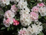 Rhododendron 'King's Ride', 20-25 cm, Rhododendron insigne 'King's Ride', Containerware
