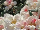 Rhododendron 'Koichiro Wada' / 'FCC', 20-25 cm, Rhododendron yakushimanum 'Koichiro Wada' / 'FCC', Containerware