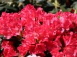 Rhododendron 'Lampion', 25-30 cm, Rhododendron yakushimanum 'Lampion', Containerware