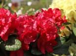 Rhododendron 'Lisetta' ®, 30-40 cm, Rhododendron haematodes 'Lisetta' ®, Containerware