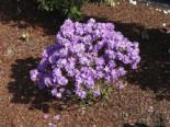 Rhododendron 'Luisella', 20-25 cm, Rhododendron impeditum 'Luisella', Containerware