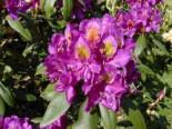 Rhododendron 'Marcel Menard', 40-50 cm, Rhododendron Hybride 'Marcel Menard', Containerware