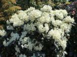 Rhododendron 'Marietta', 20-25 cm, Rhododendron yakushimanum 'Marietta', Containerware