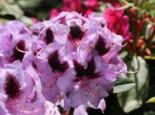 Rhododendron 'Metallica', 30-40 cm, Rhododendron Hybride 'Metallica', Containerware