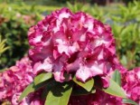 Rhododendron 'Midnight Mystique', 30-40 cm, Rhododendron Hybride 'Midnight Mystique', Containerware