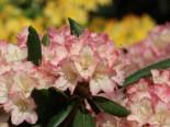Rhododendron 'Minikin', 25-30 cm, Rhododendron yakushimanum 'Minikin', Containerware