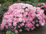 Rhododendron 'Nicoletta' (S), 20-25 cm, Rhododendron yakushimanum 'Nicoletta' (S), Containerware