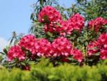 Rhododendron 'Nova Zembla', 25-30 cm, Rhododendron Hybride 'Nova Zembla', Containerware