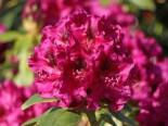 Rhododendron 'Olin O.Dobbs', 25-30 cm, Rhododendron Hybride 'Olin O. Dobbs', Containerware