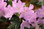 Rhododendron oreotrephes, 20-25 cm, Containerware