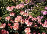 Rhododendron 'Percy Wiseman', 25-30 cm, Rhododendron yakushimanum 'Percy Wiseman', Containerware