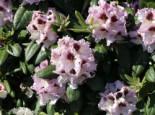 Rhododendron 'Pinguin', 30-40 cm, Rhododendron Hybride 'Pinguin', Containerware