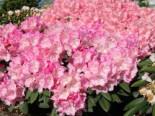 Rhododendron 'Polaris', 30-40 cm, Rhododendron yakushimanum 'Polaris', Containerware