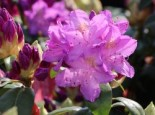 Rhododendron 'Purpureum Grandiflorum', 30-40 cm, Rhododendron Hybride 'Purpureum Grandiflorum', Containerware