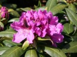 Rhododendron 'Rasputin', 60-70 cm, Rhododendron Hybride 'Rasputin', Containerware