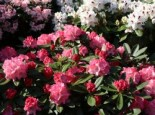 Rhododendron 'Rendezvous', 25-30 cm, Rhododendron yakushimanum 'Rendezvous', Containerware