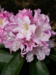 Rhododendron 'Rosé Duft', 50-60 cm, Rhododendron Hybride 'Rose Duft', Containerware