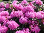 Rhododendron 'Roseum Pink', 70-80 cm, Rhododendron Hybride 'Roseum Pink', Containerware