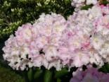 Rhododendron 'Schneekrone', 25-30 cm, Rhododendron yakushimanum 'Schneekrone', Containerware